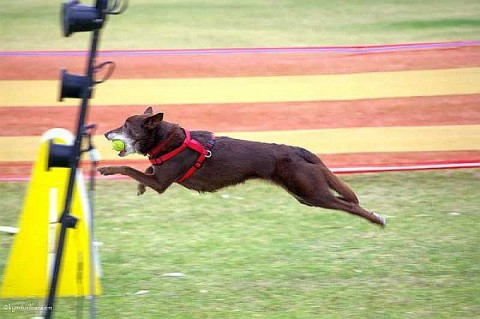 Flyball action captured forever
